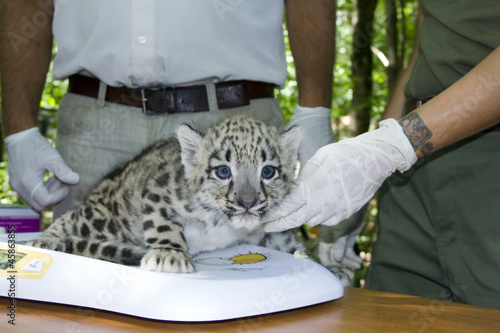 In de dag Luipaard Weighting a snow leopard cub (Uncia uncia) in a zoo
