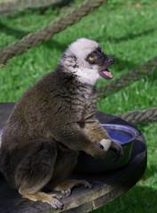 White Faced Brown Lemur