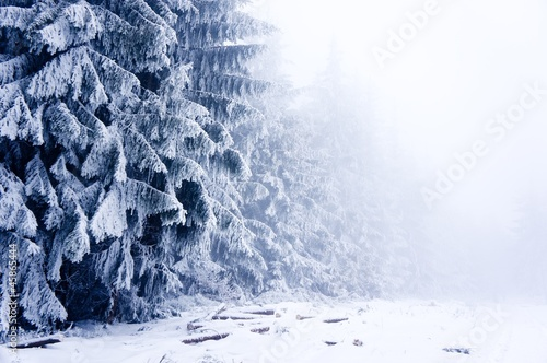 Winter forest with lot of trees covered by snow in mist
