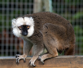 White Faced Brown Lemur