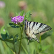 Common Yellow Swallowtail (Papilio machaon)