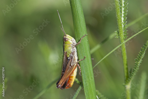 A grasshopper on the grass (Chorthippus paralellus)