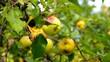 Apfel am Baum vid 02