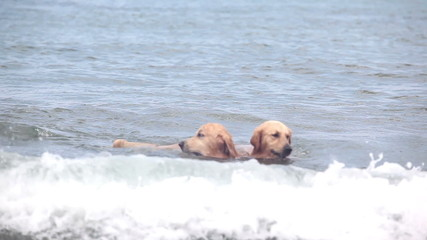 Two dogs with ball playing in sea