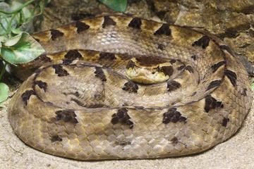 Matayan Pit Viper