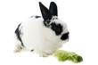 young dwarf rabbit