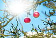 Red apples on tree, sun, snow and blue sky