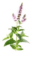 Beauty mint flowers