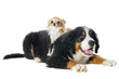 puppy bernese moutain dog and chihuahua