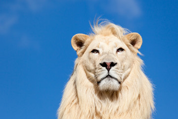 Head Portrait of Majestic White Lion on Blue Sky