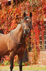 beautiful bay sportive stallion autumn  portrait