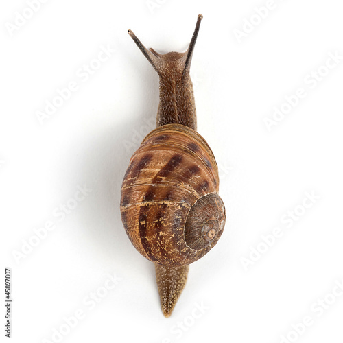 Garden snail isolated on white background. - 45897807