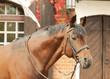 beautiful bay sportive stallion autumn  portrait