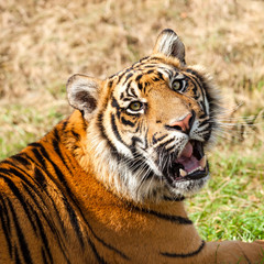 Head Shot of Growling Sumatran Tiger