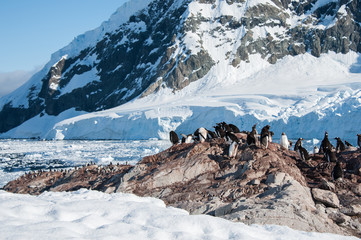 Gentoo penguins colony on the beach, Antarctica