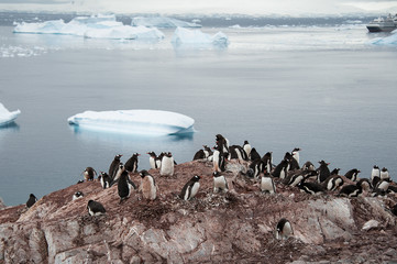 Gentoo penguins colony near icebergs, Antarctica