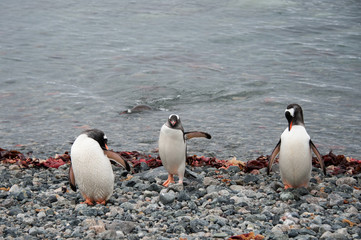 Gentoo penguins cleaning plumage, Antarctica