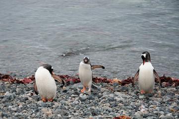 Gentoo penguins cleaning plumage, Antarctica