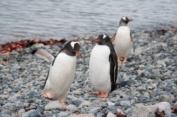Gentoo penguins walking on the beach, Antarctica