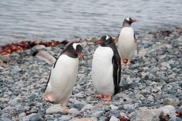 Gentoo penguins walking on the beach, Antarctica