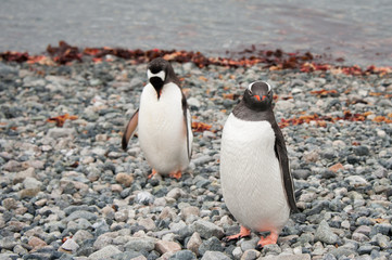 Gentoo penguins near the ocean