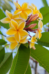 bouquet de frangipanier jaune