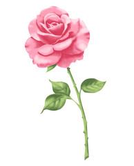 Rose 2 rosa
