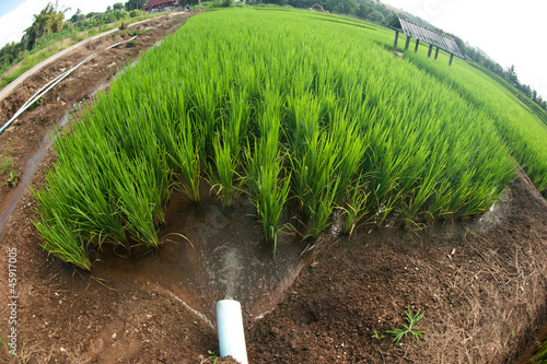 Water delivery  system to rice field .