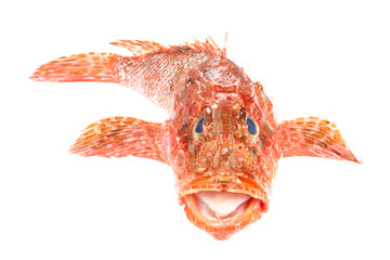 Red Scorpionfish seafood isolated on white background. Front vie
