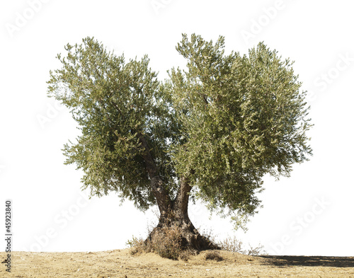 Tuinposter Olijfboom Olive tree white isolated