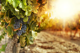 Vineyards at sunset - Fine Art prints