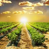 Fototapeta wiejski - upraw - Roślinne