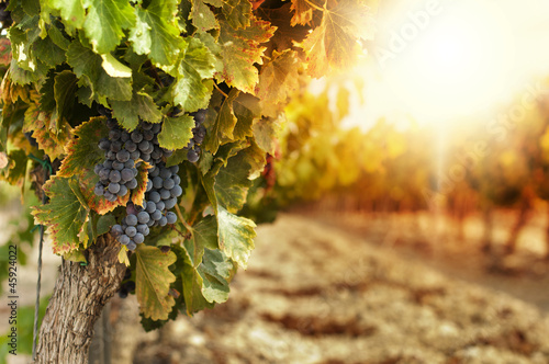 Foto op Plexiglas Planten Vineyards at sunset