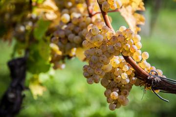 Weisswein-Trauben an Rebtsock im Gegenlicht leuchtend