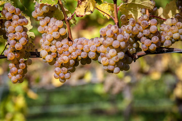 Weisse Weintrauben am Weinstock
