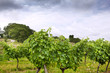 Vigne, vin, vignoble, raisin, culture, viticole, nature