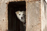 Sled Dog In Plywood Kennel poster