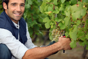 Farmer pruning vine