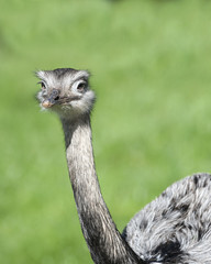 Close up of a Greater Rhea