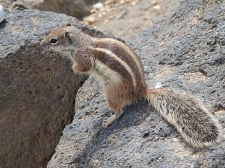 Scoiattolo a Fuerteventura