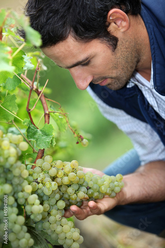 Vintner looking bunch of grapes
