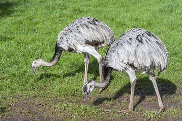 Close up of two Greater Rhea Eating