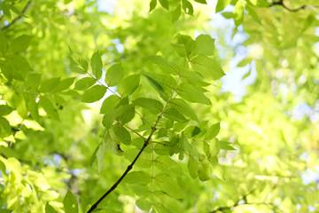 Esche - Blätterhimmel
