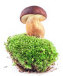 Boletus mushrooms (Xerocomus badius, Boletus badius) on moss