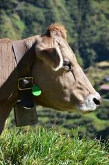 Cow in an Alpine meadow. Furka pass, Switzerland