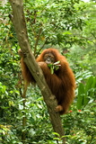 Hairy orangutan at a tree eating a branch and leaves