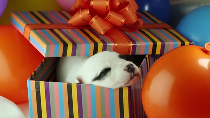newborn puppy sleeping in a gift box