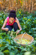 Woman picking bean pods in a basket