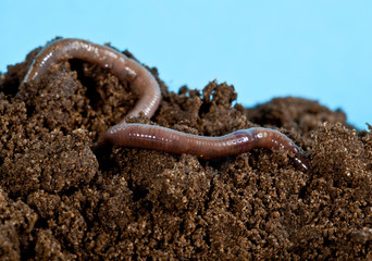 Earthwarm in a heap of soil