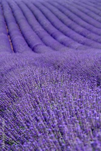 Lavender pola w pobliżu Valensole w Provence, Francja